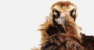 睡眠神鹰作为放松的标志 免版税库存图片