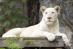 睡着一头白色的狮子 库存照片