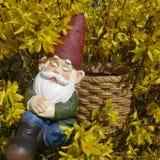 睡着的庭院地精在黄色开花的连翘属植物灌木坐并且倾斜反对篮子 库存照片