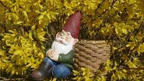 睡着的庭院地精在黄色开花的连翘属植物灌木坐并且倾斜反对篮子 免版税图库摄影