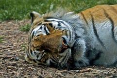 睡着的老虎 免版税库存图片
