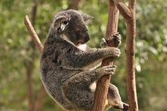 睡着的考拉结构树 免版税库存照片
