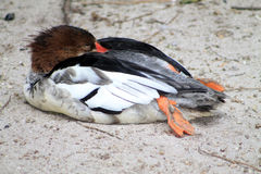 睡着的鸭子 库存图片