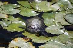 睡莲叶休息的乌龟 库存图片