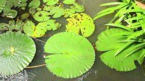 睡莲叶和植被顶上的看法在亚洲pondin亚洲 股票录像