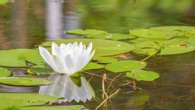 睡莲叶和白百合花在一晚夏/早期的秋天天在一个小湖在州长诺尔斯状态森林里北Wis的 库存图片