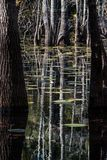 睡莲叶和秃头塞浦路斯沼泽的 图库摄影