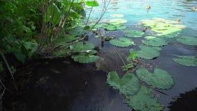 睡莲叶和鸭子在黑维兹湖 股票录像