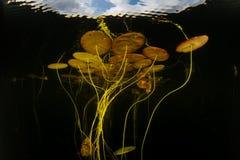 睡莲叶在一个镇静湖增长 库存照片