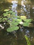 睡莲叶在公园 库存图片