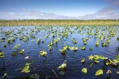 睡莲叶在沼泽地 免版税库存图片