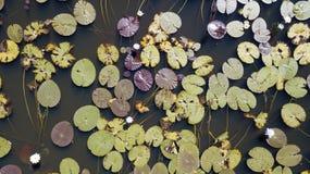 睡莲叶在Leichhardt盐水湖 免版税库存照片
