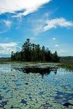 睡莲叶导致在杉树盖的半岛 免版税库存照片