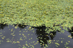 睡莲叶池塘 库存照片