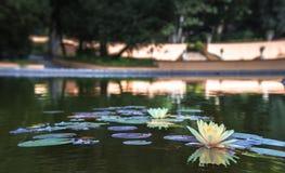 睡莲叶花在湖 免版税库存照片