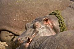 睡觉一匹野生的河马的画象,克鲁格,南非 免版税库存照片