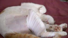 睡觉与在受伤的关心选矿的受伤的腿的猫 股票视频