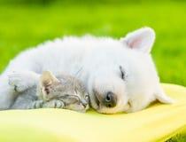睡觉与在枕头的小猫的白色瑞士牧羊人` s小狗 免版税库存图片