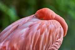 睡觉与头的火鸟卷起了桃红色羽毛 库存图片