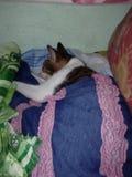 睡觉与毯子的病的猫 免版税库存照片