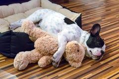 睡觉与玩具熊的小狗 免版税库存照片