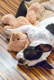 睡觉与玩具熊的小狗 图库摄影