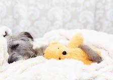 睡觉与玩具熊的疲乏的狗 免版税库存图片