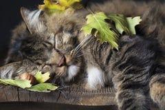睡觉与秋天叶子的猫 免版税库存图片