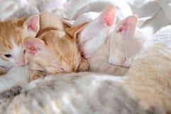 睡觉与他们的母亲的小小猫 免版税库存照片