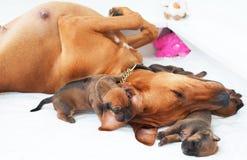 睡觉与他们的母亲的Rhodesian Ridgeback幼兽 免版税库存照片