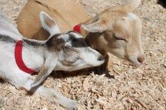 睡觉两只的山羊在阳光下 免版税库存照片