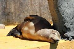 睡觉加利福尼亚海狮 免版税库存图片