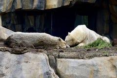 睡觉北极熊 免版税库存图片