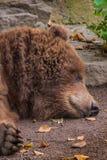睡觉北美灰熊褐色毛皮头疲倦了蓬松 库存图片