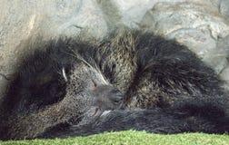 睡觉卷起的熊猫 免版税图库摄影