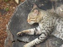 睡觉在一个木甲板的野生猫 免版税库存图片