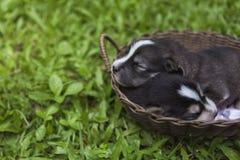 睡觉在一个木篮子的西伯利亚爱斯基摩人小狗在庭院里 库存照片