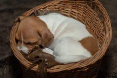 睡觉在一个柳条筐的杰克罗素小狗 库存图片
