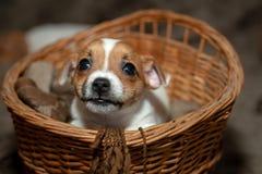 睡觉在一个柳条筐的杰克罗素小狗 免版税库存照片