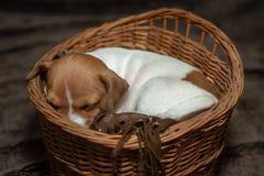 睡觉在一个柳条筐的杰克罗素小狗 库存照片