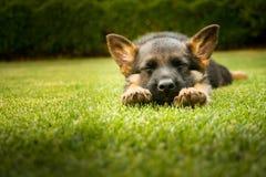 睡觉在一个温暖的夏日的德国牧羊犬小狗 免版税库存图片