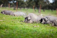 睡觉在一个绿色草甸的利比亚猪 免版税图库摄影
