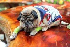 睡觉在一张木桌上的逗人喜爱的哈巴狗狗,想知道 免版税库存图片