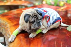 睡觉在一张木桌上的逗人喜爱的哈巴狗狗,想知道 免版税库存照片