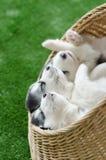 睡觉在一张柳条床上的三只西伯利亚爱斯基摩人小狗 库存照片