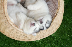睡觉在一张柳条床上的两只西伯利亚爱斯基摩人小狗 库存图片