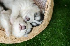 睡觉在一张柳条床上的两只西伯利亚爱斯基摩人小狗 免版税库存图片
