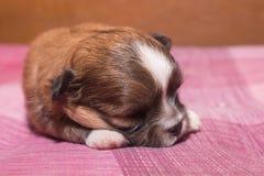 睡觉在一张桃红色地毯的小奇瓦瓦狗小狗特写镜头  库存图片