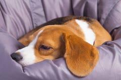 睡觉在一把软的椅子的一个哀伤的小猎犬 库存照片