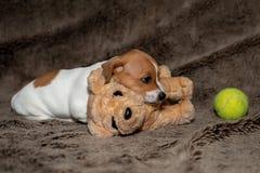 睡觉在一条棕色毯子的杰克罗素小狗朝向对玩具 免版税库存照片